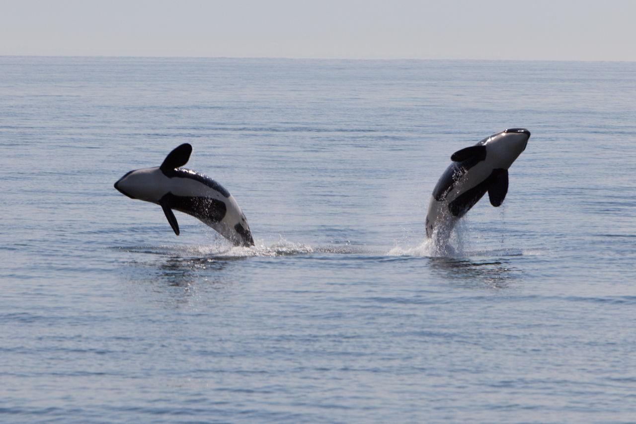 Predators of the Sea: The Life Cycle and Habitat of Killer ...