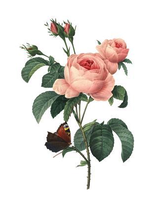 Rosa Centifolia Redoute Flower