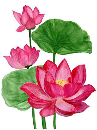 Lotus Flower Pink