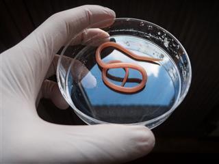 Ascaris Nematode Parasite