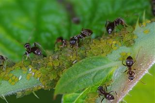 Ants Tending Aphids Herd