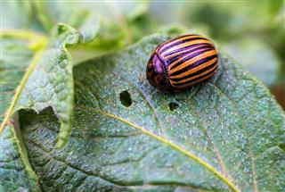Colorado Beetle Eats Potato Leaves