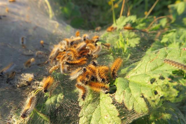 Swarming Tent Caterpillars