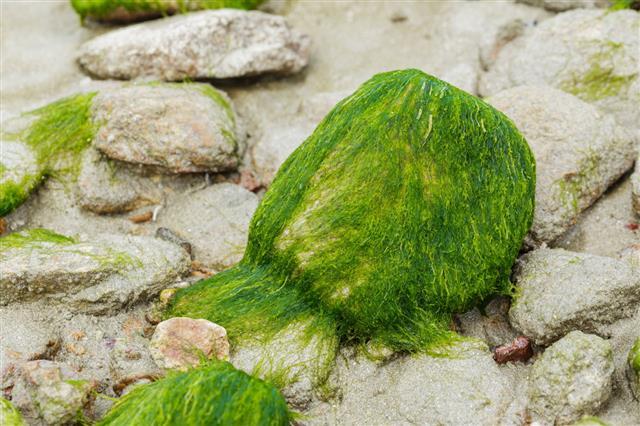 Green Algae On Rocks