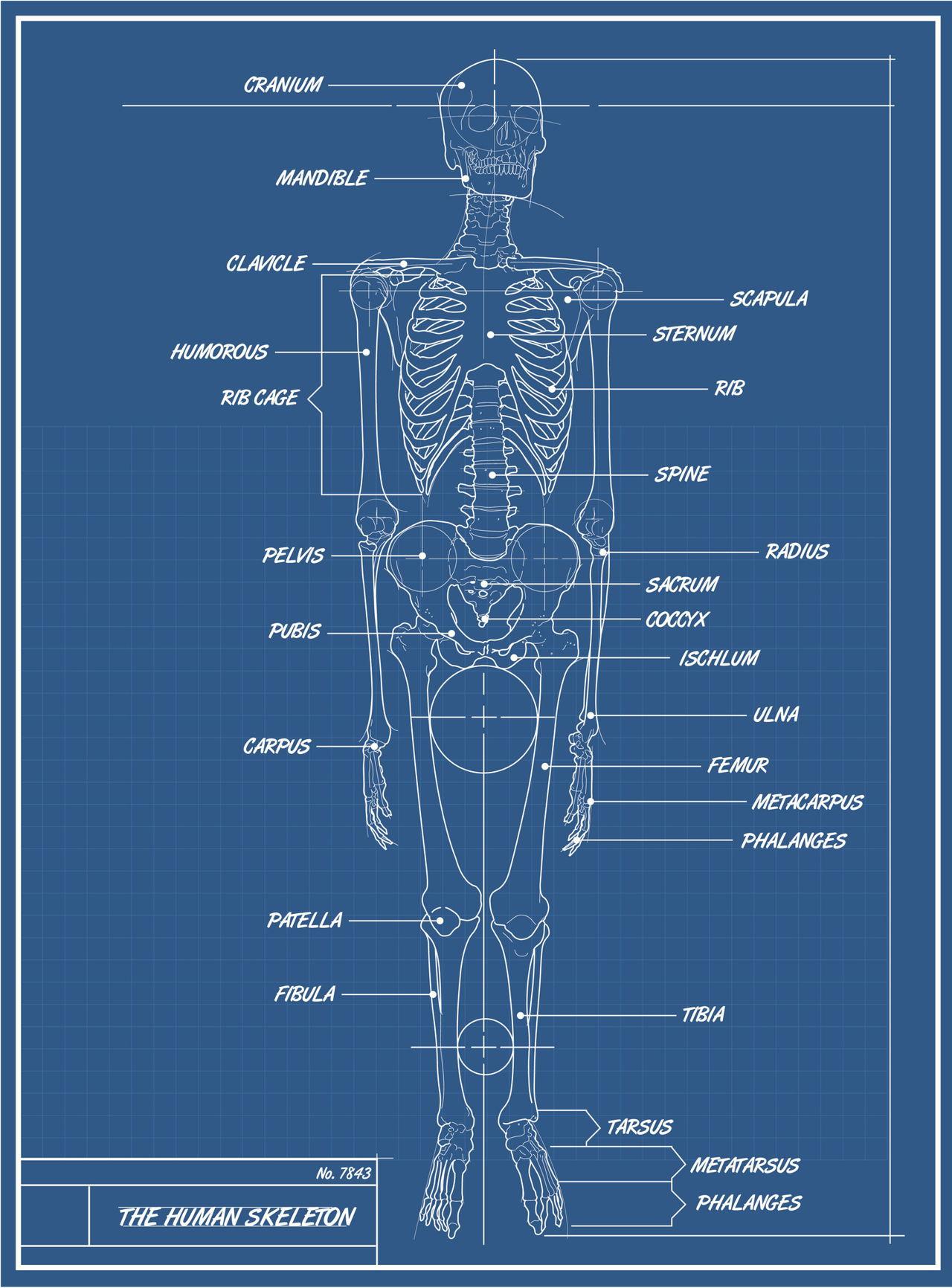 Bones Of The Body Diagram