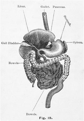 Antique Medical Digestive System
