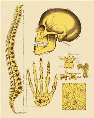 Various Human Bones