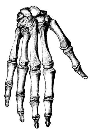 Bones Of Human Hand