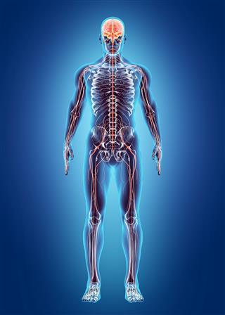 Human Internal System Nervous System