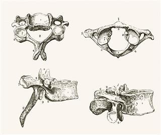 Human Vertebra
