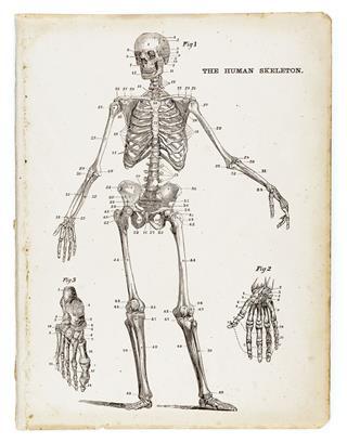 The Human Skeleton Engraving