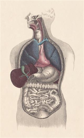 Inner Organs Of Man