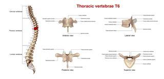 Thoracic Vertebrae