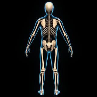 Human Body Skeleton Anatomy
