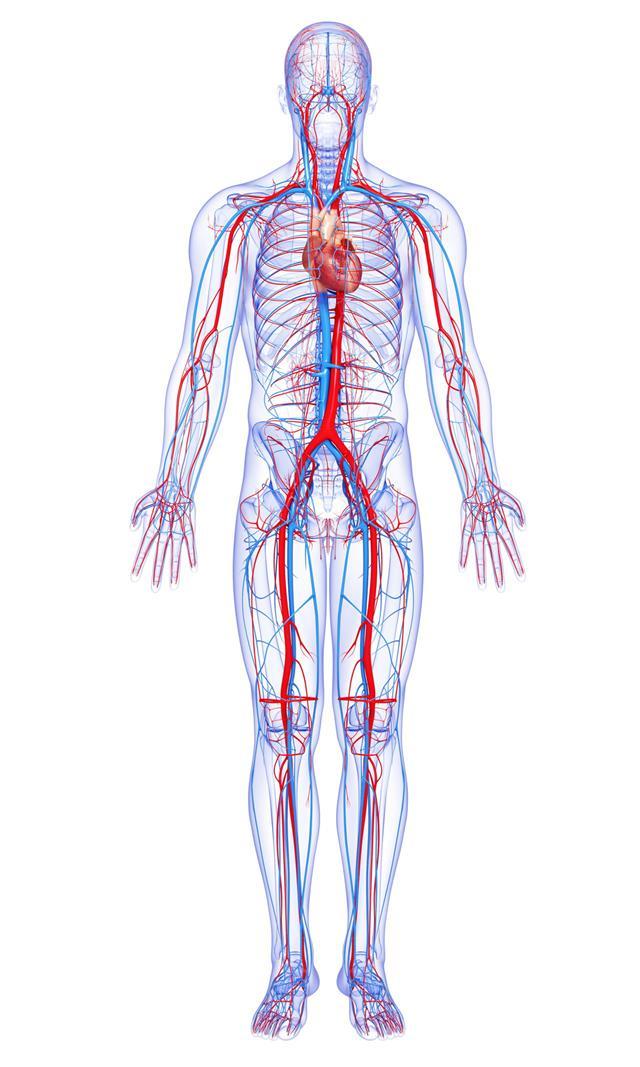 Male Body Circulatory System