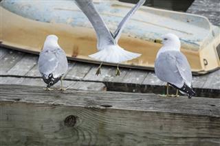 Boat Dock Seagulls