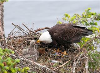 Eagle Feeding Chicks in Nest