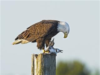 Bald Eagle Eating Gull