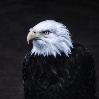 Dark American Bald Eagle Portrait