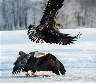 The Bald Eagles