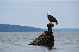 Wild Bald Eagle