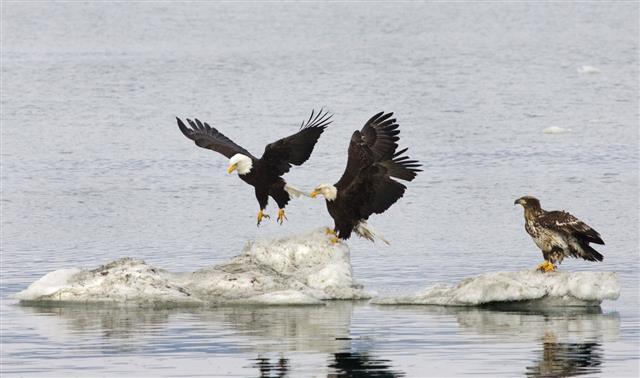 Bald Eagles On Ice Alaska