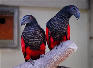 Black Parrots
