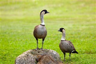 Pair of nene geese