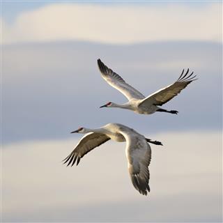 Pair of Sandhill Cranes Grus Canadensis mid-flight