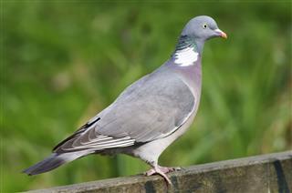 Proper wild wood pigeon Columba palumbus