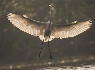 Great egret full wings show