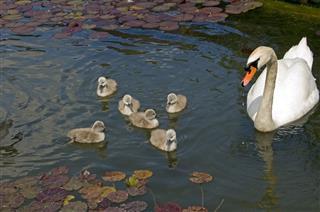Swan stroll