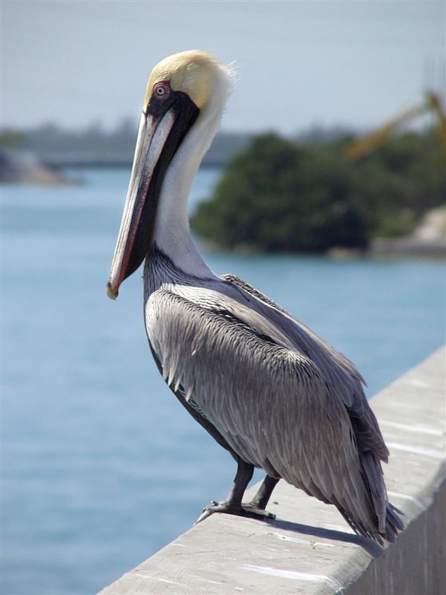 Pelican on Bridge