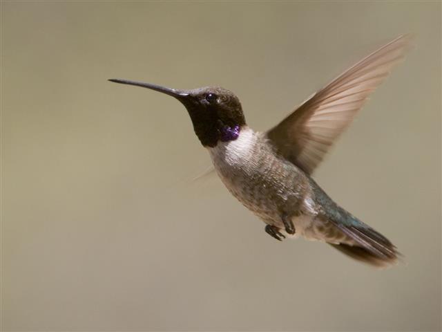 lack-chinned Hummingbird in flight