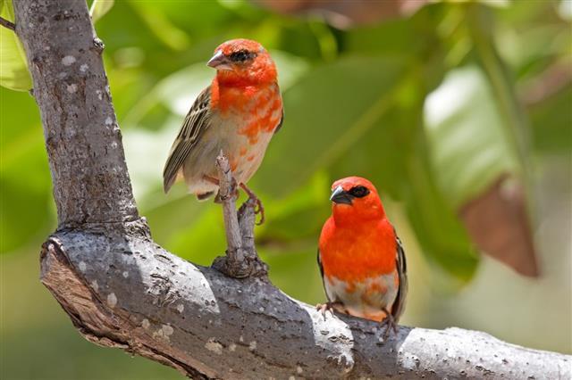 Fody bird
