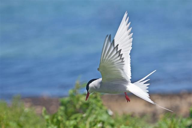Flying Arctic Tern (Sterna paradisaea)