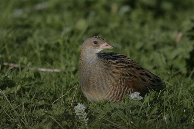 Bird Corncrake