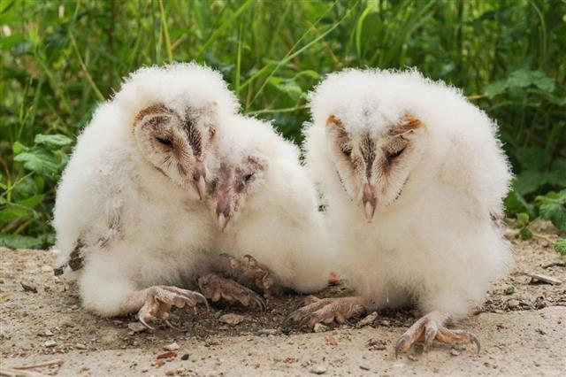 Barn owl chicks, Tyto alba