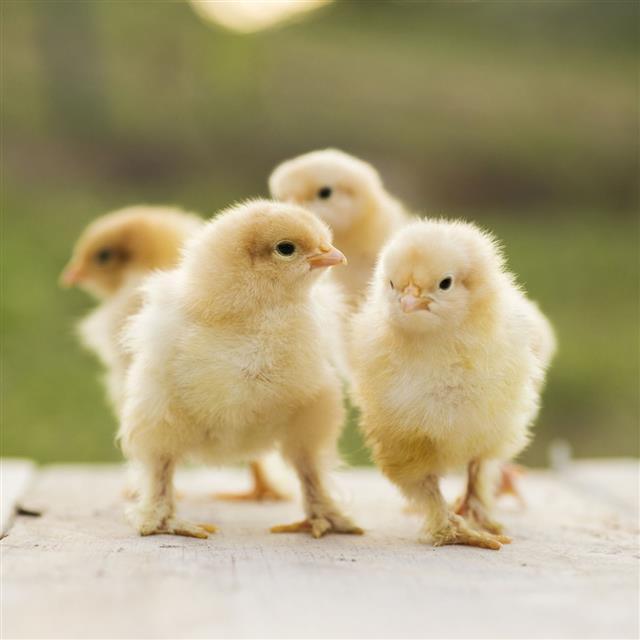 Buff orpington bantam chicks