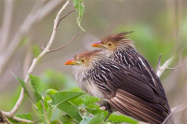 Guira Cuckoos perched in bush
