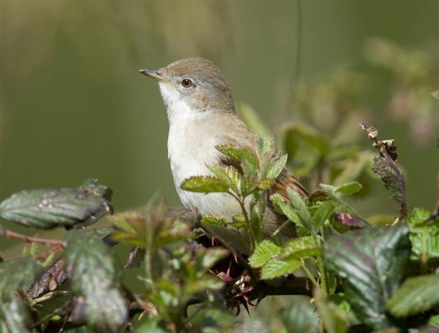 Whitethroat bird