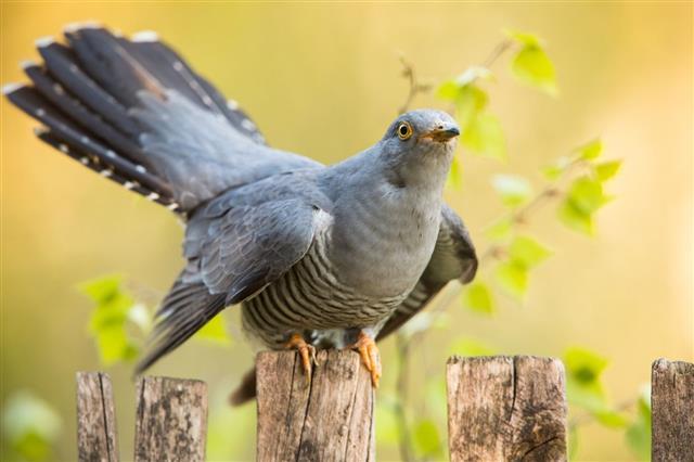 Male Common Cuckoo