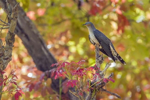 Eurasian cuckoo in Bardia national park, Nepal