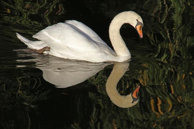 Swan bird
