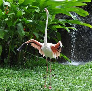 White Flamingo wings