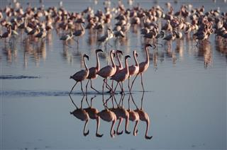 Flock of Lesser Flamingos On Lake Nakuru