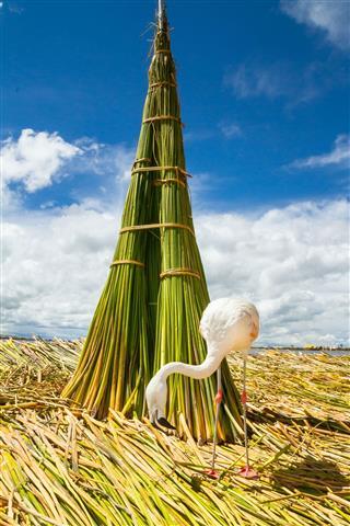 White Flamingo on the islands