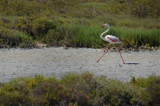 Flamingo running on a beach