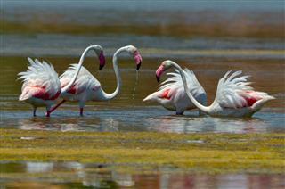 Flamingo bird in natural habitat