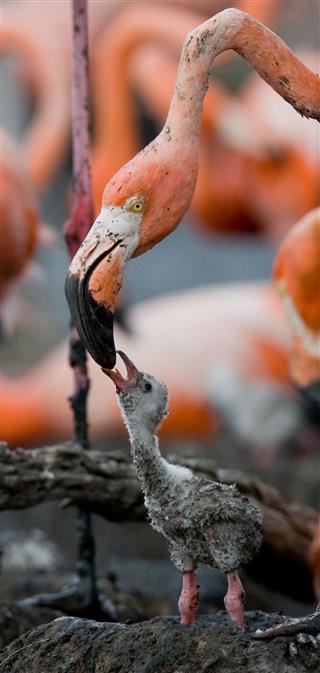 Caribbean flamingo with chicks